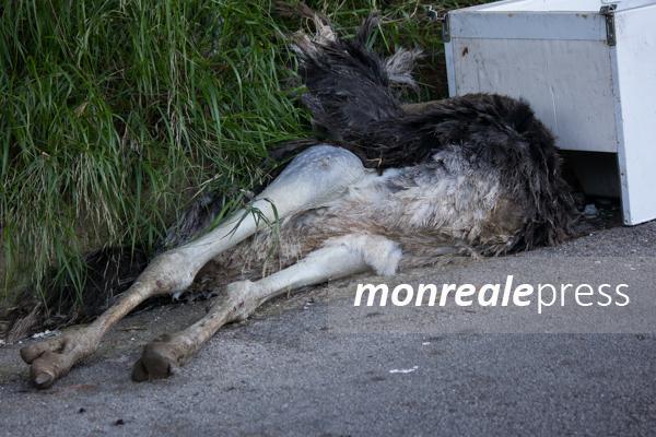Monreale, uno struzzo abbandonato tra i rifiuti