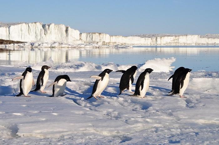 omosessualità pinguini