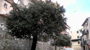 alberi-pioppo4