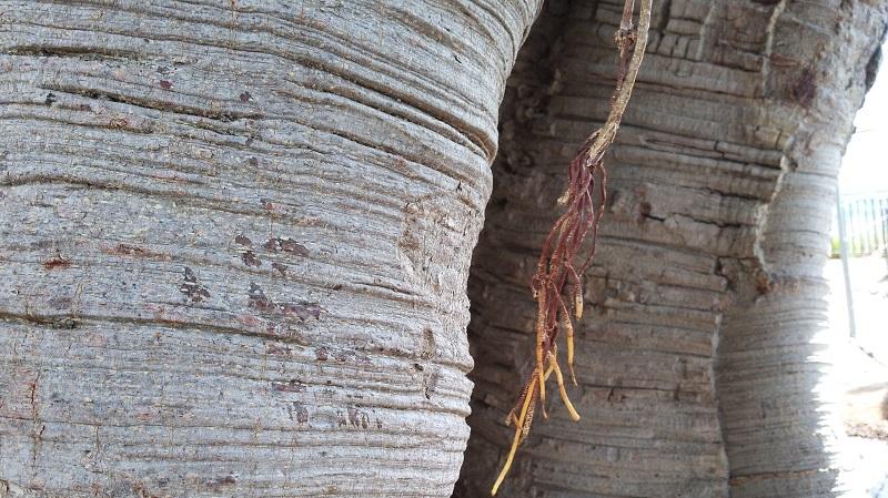 Monreale, villa comunale: ecco le prime nuove radici degli storici ficus