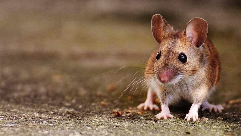 La vera favola del topo di paese e delle esche avvelenate che non lo uccidono
