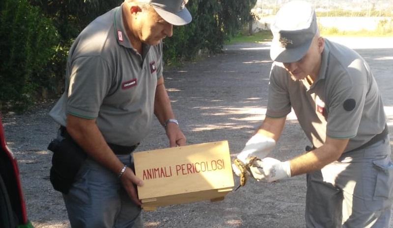 Palermo, trovato in strada e catturato dai carabinieri un pitone reale