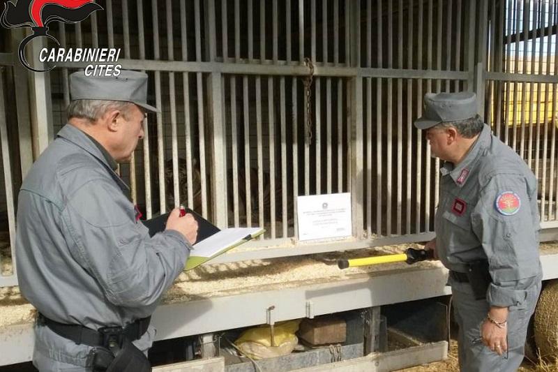 Palermo, i carabinieri sequestrano tigre a circo: il microchip era di un altro esemplare