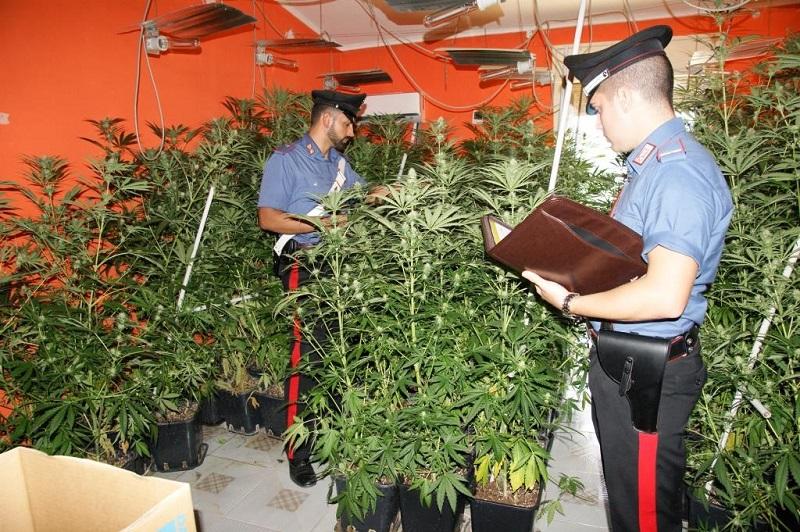 Aquino, in casa coltivava oltre 500 piante di marijuana: arrestato