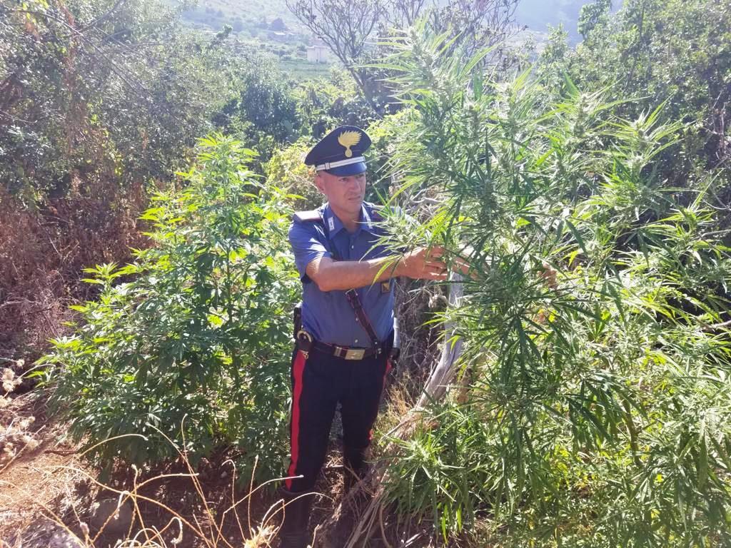 Le piante di marijuana tra gli ulivi di Grisì: arrestato dai carabinieri