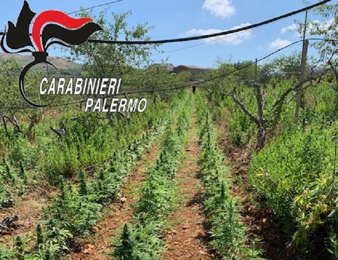 Maxi piantagione di marijuana: carabinieri sequestrano 6 mila piante