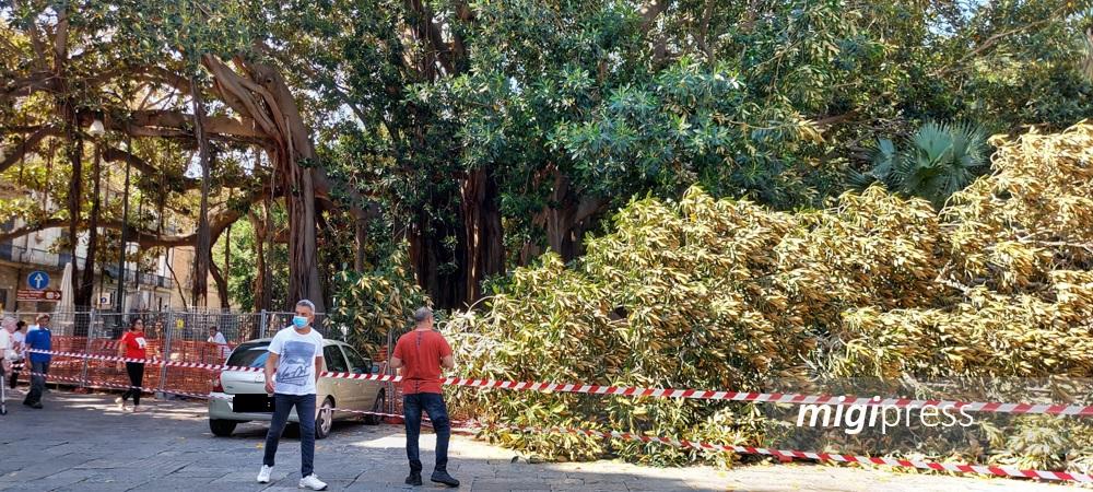 Si spezza grosso ramo dello storico Ficus di piazza Marina: nessun ferito
